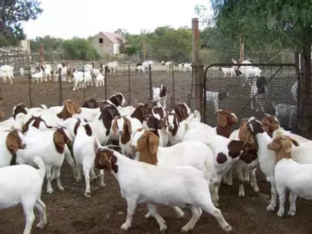 Livestock for sale , Boer goats,dooper sheep,cows